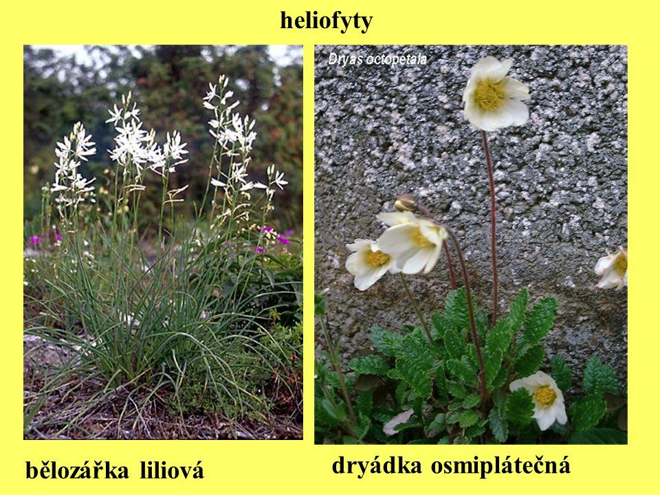 heliofyty dryádka osmiplátečná bělozářka liliová