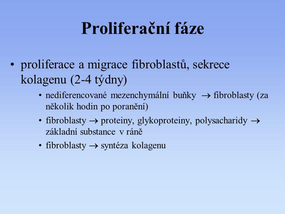 Proliferační fáze proliferace a migrace fibroblastů, sekrece kolagenu (2-4 týdny)