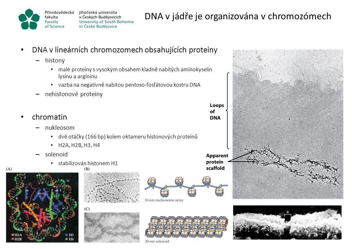 DNA v jádře je organizována v chromozómech