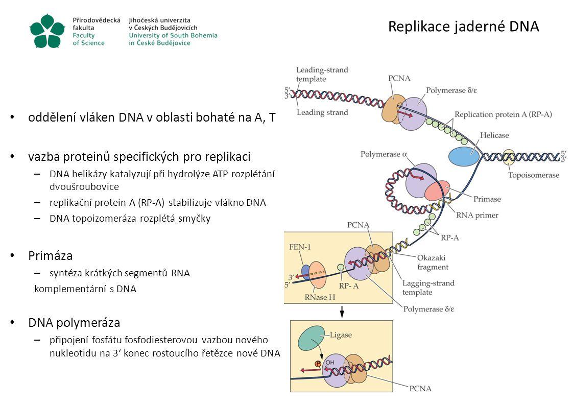 Replikace jaderné DNA oddělení vláken DNA v oblasti bohaté na A, T