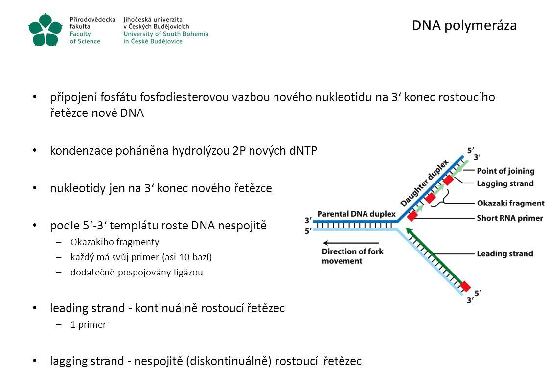 DNA polymeráza připojení fosfátu fosfodiesterovou vazbou nového nukleotidu na 3' konec rostoucího řetězce nové DNA.