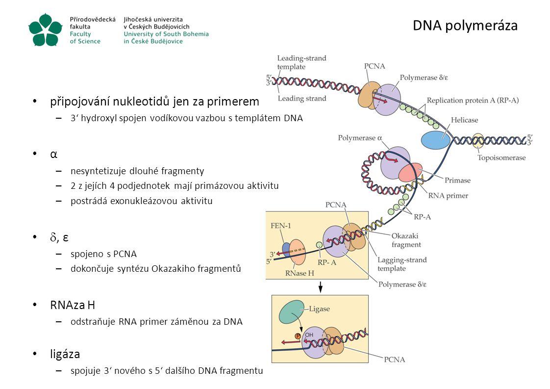 DNA polymeráza připojování nukleotidů jen za primerem α , ε RNAza H