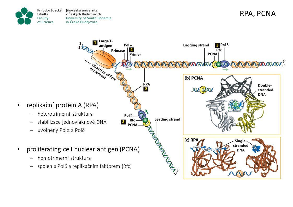 RPA, PCNA replikační protein A (RPA)