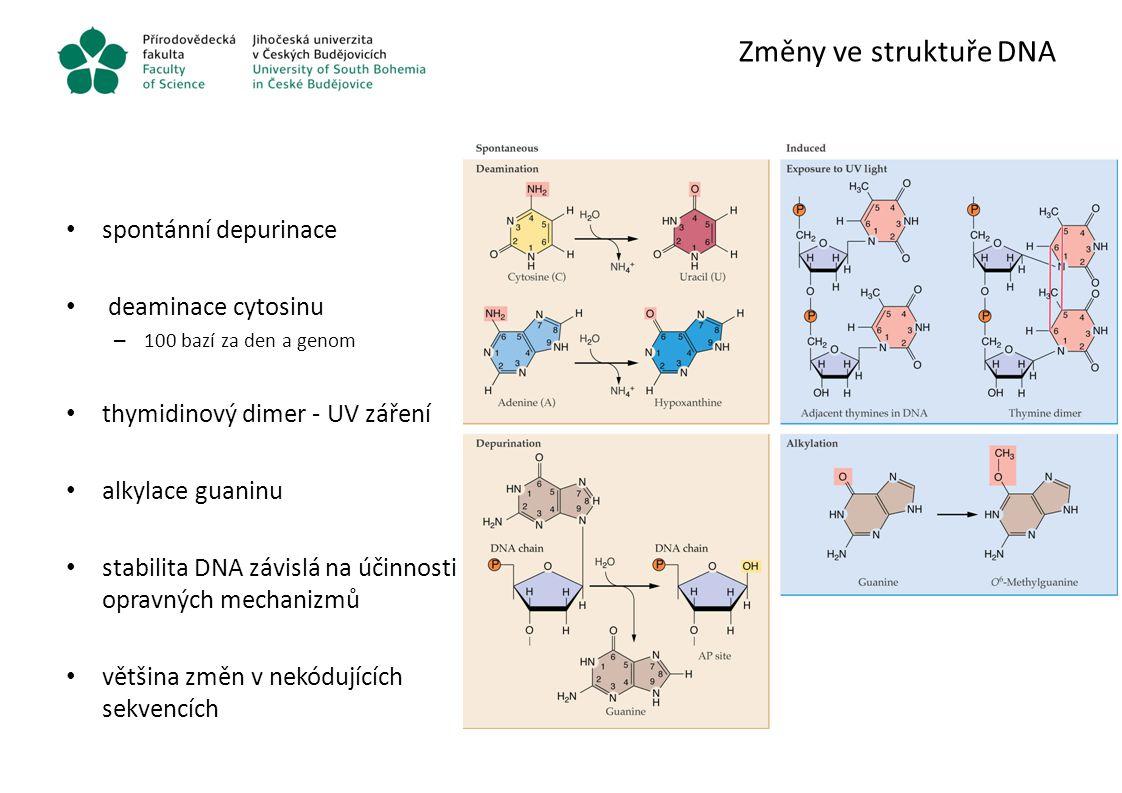 Změny ve struktuře DNA spontánní depurinace deaminace cytosinu