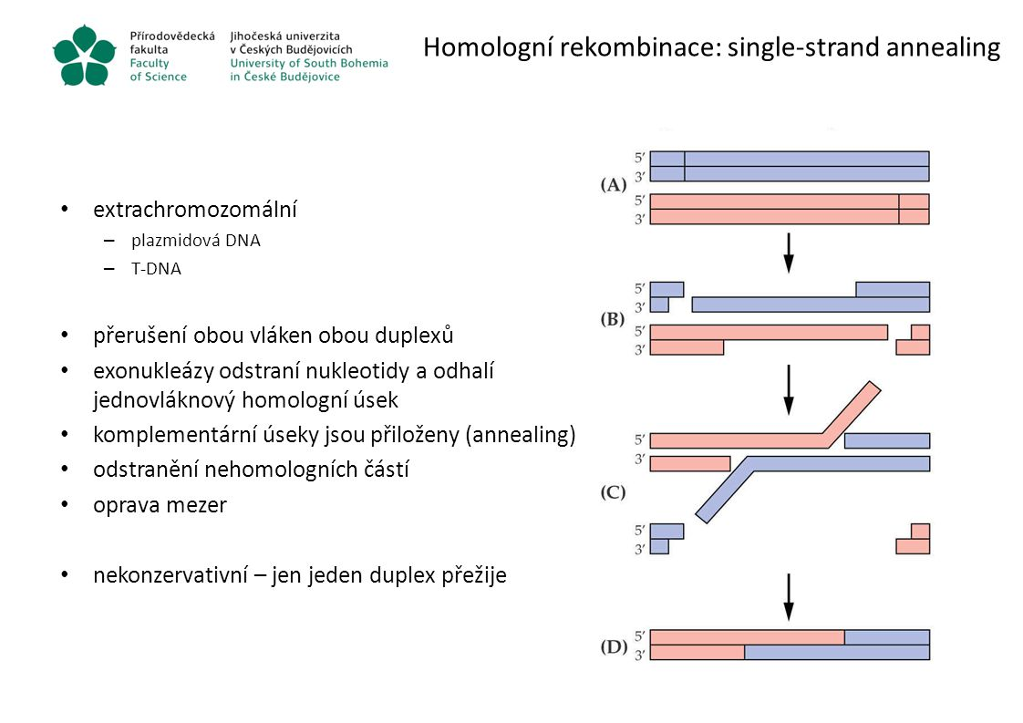 Homologní rekombinace: single-strand annealing