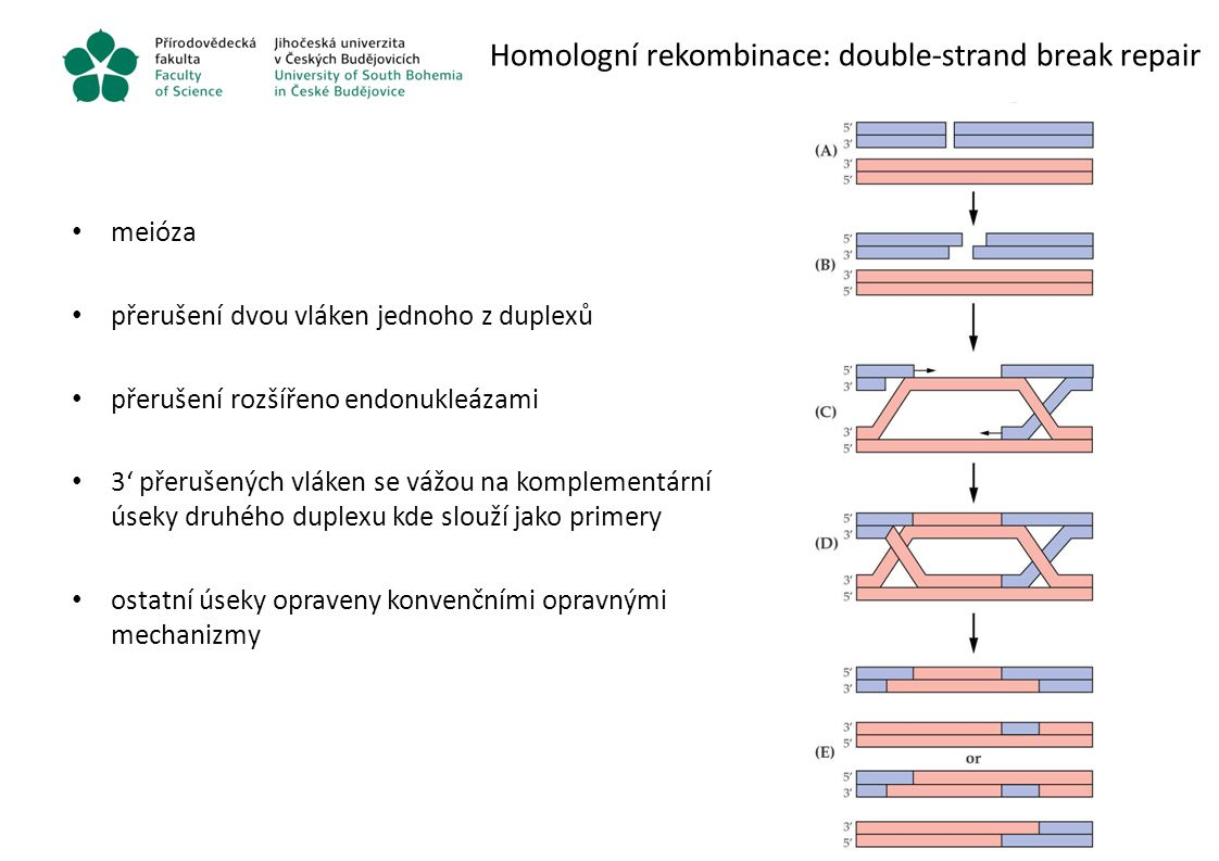 Homologní rekombinace: double-strand break repair