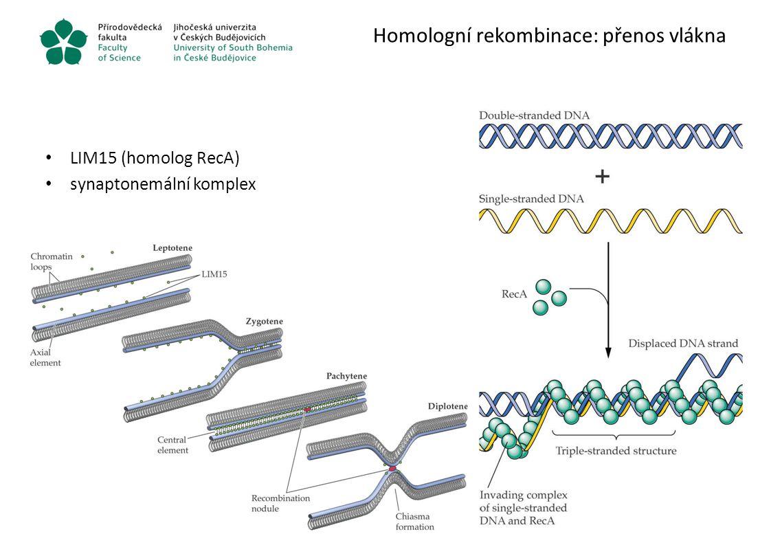 Homologní rekombinace: přenos vlákna