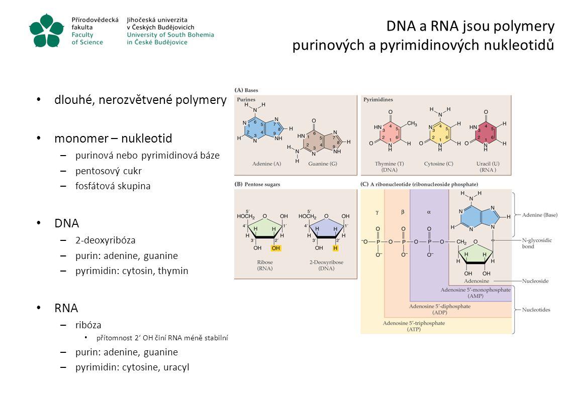 DNA a RNA jsou polymery purinových a pyrimidinových nukleotidů
