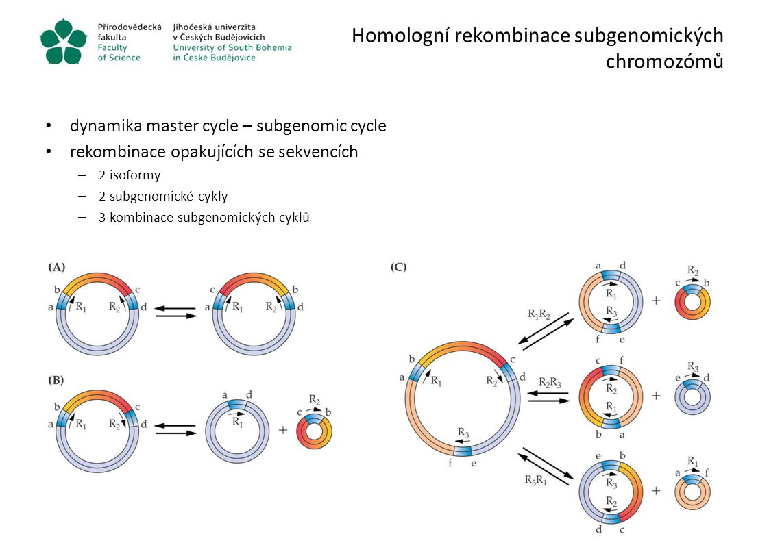 Homologní rekombinace subgenomických chromozómů