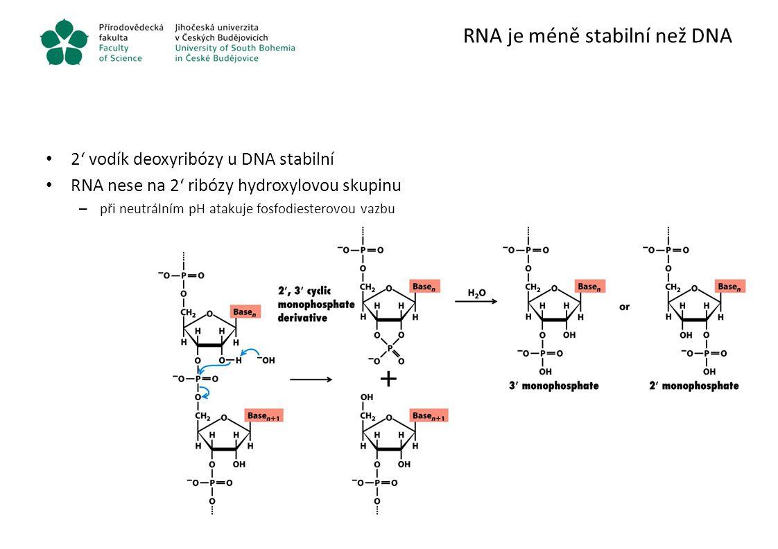 RNA je méně stabilní než DNA