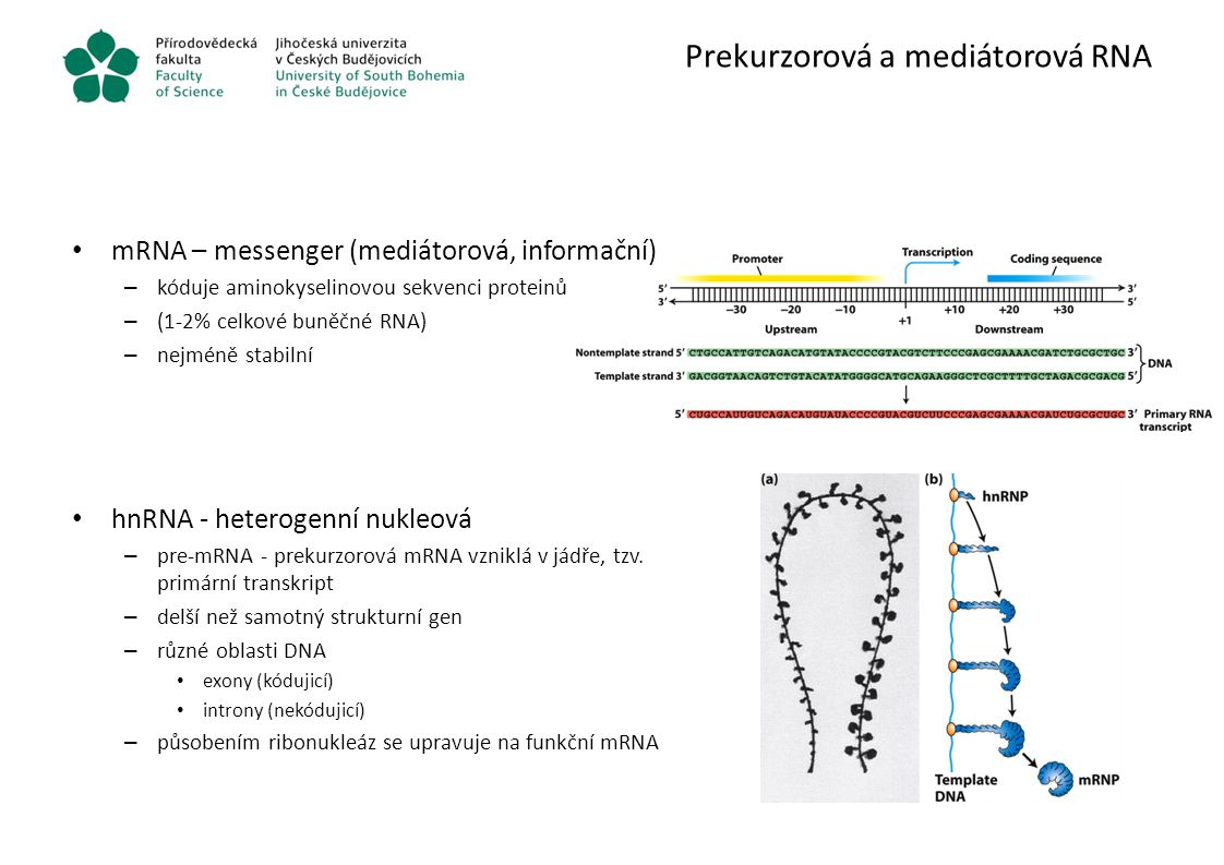 Prekurzorová a mediátorová RNA