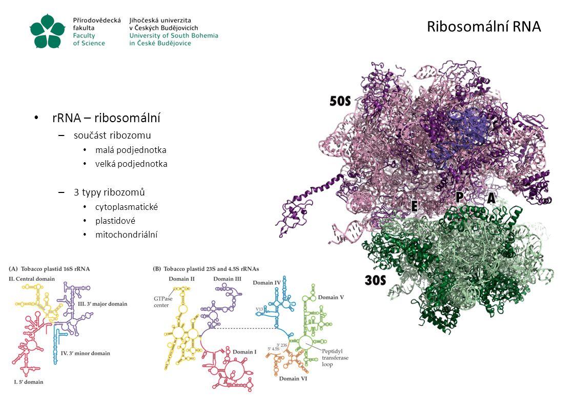 Ribosomální RNA rRNA – ribosomální součást ribozomu 3 typy ribozomů