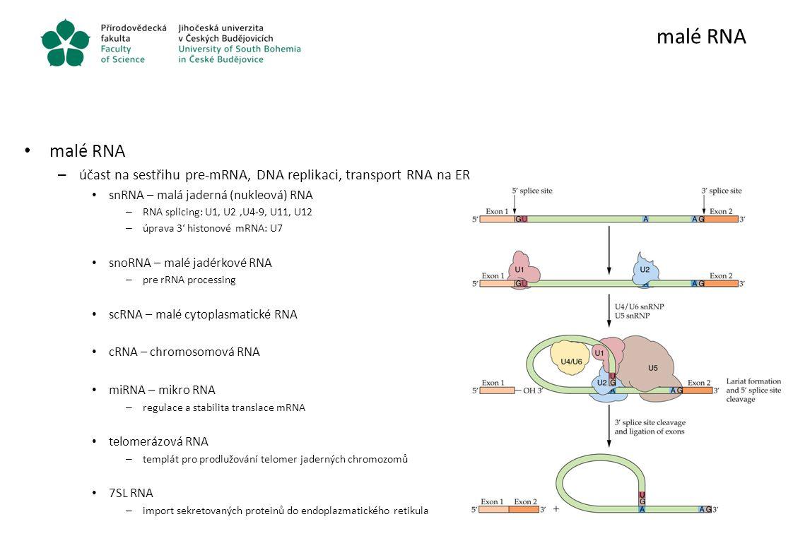 malé RNA malé RNA. účast na sestřihu pre-mRNA, DNA replikaci, transport RNA na ER. snRNA – malá jaderná (nukleová) RNA.