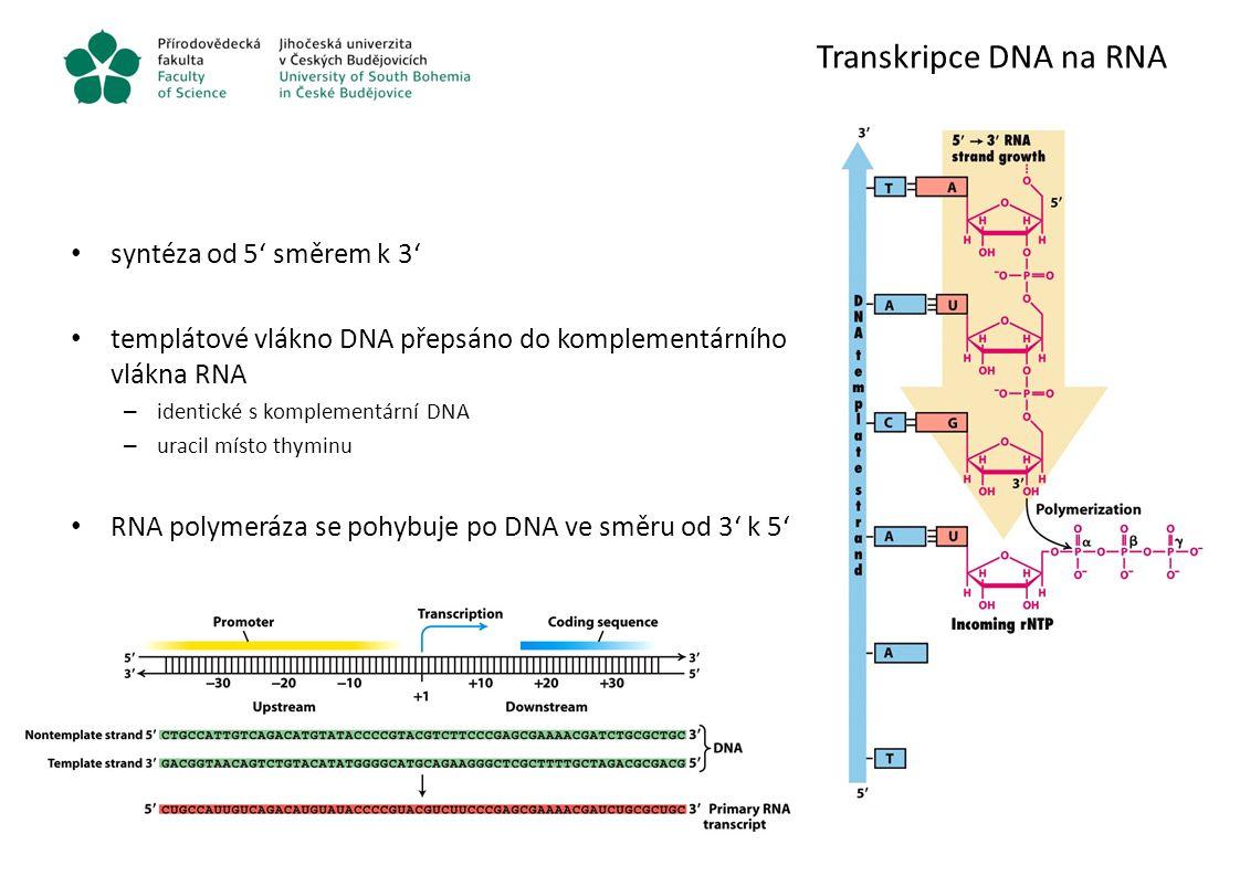 Transkripce DNA na RNA syntéza od 5' směrem k 3'
