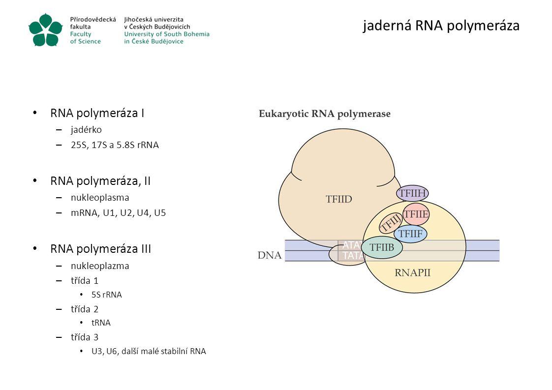 jaderná RNA polymeráza