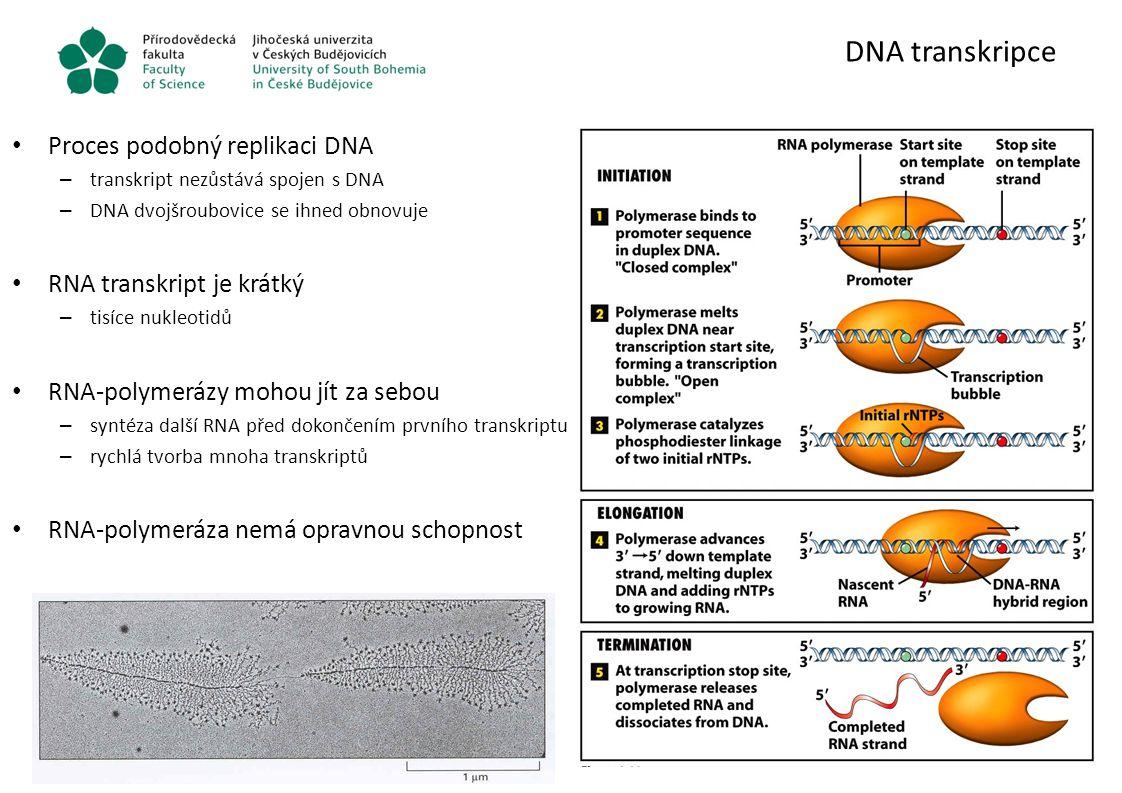 DNA transkripce Proces podobný replikaci DNA RNA transkript je krátký