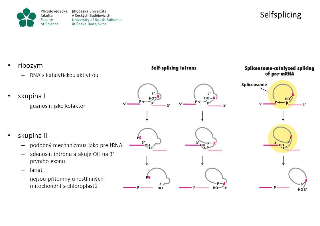 Selfsplicing ribozym skupina I skupina II RNA s katalytickou aktivitou