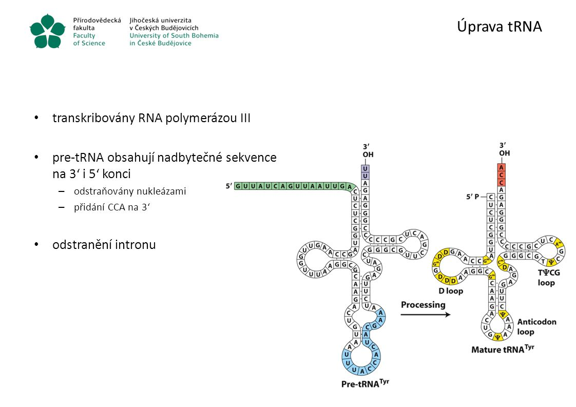 Úprava tRNA transkribovány RNA polymerázou III