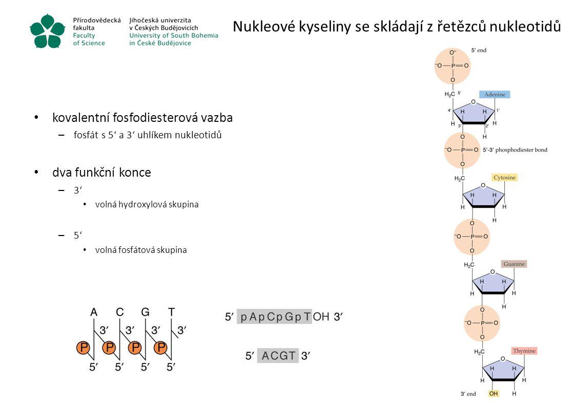Nukleové kyseliny se skládají z řetězců nukleotidů