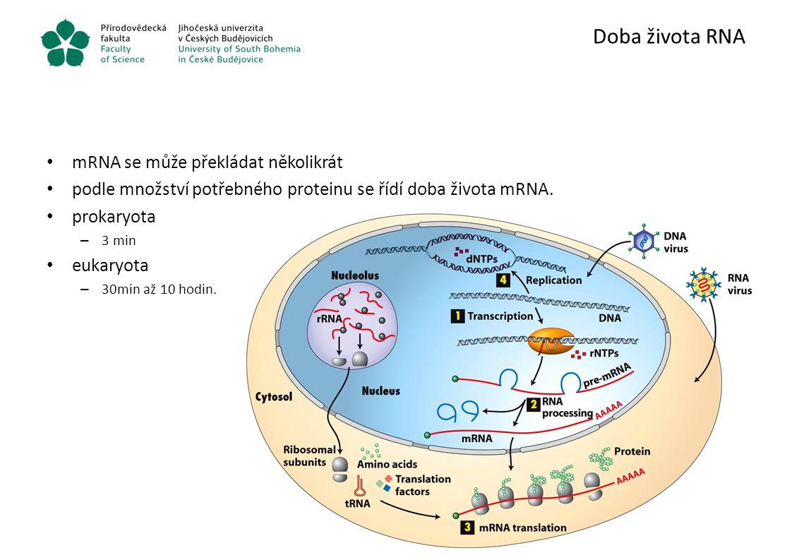 Doba života RNA mRNA se může překládat několikrát