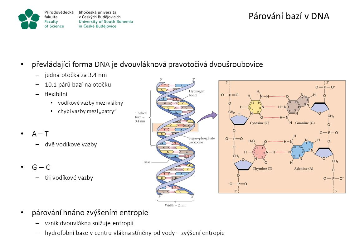 Párování bazí v DNA převládající forma DNA je dvouvláknová pravotočivá dvoušroubovice. jedna otočka za 3.4 nm.
