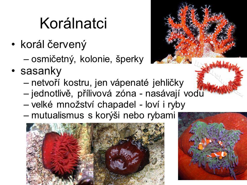 Korálnatci korál červený sasanky osmičetný, kolonie, šperky