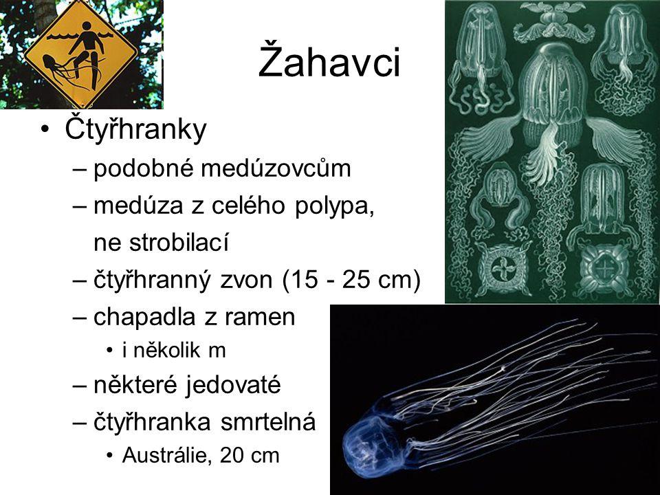 Žahavci Čtyřhranky podobné medúzovcům medúza z celého polypa,