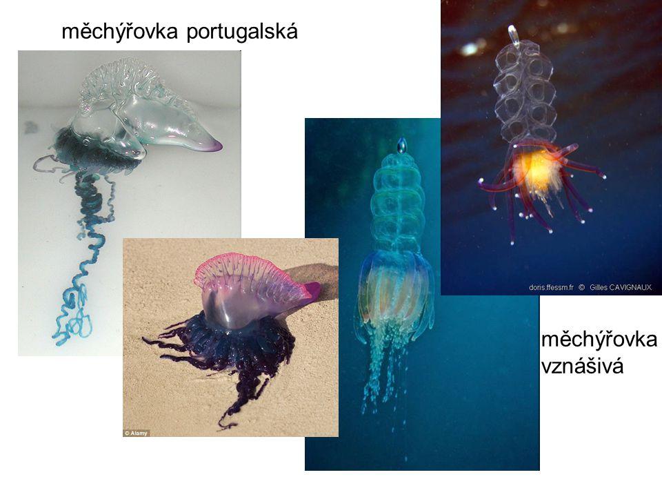 měchýřovka portugalská