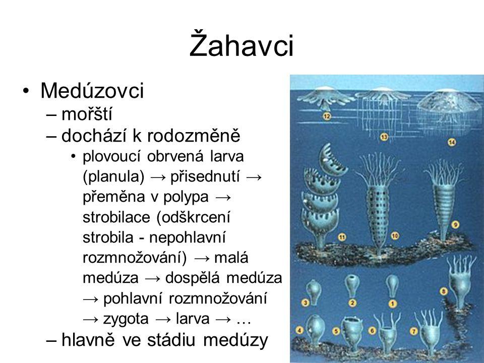 Žahavci Medúzovci mořští dochází k rodozměně hlavně ve stádiu medúzy