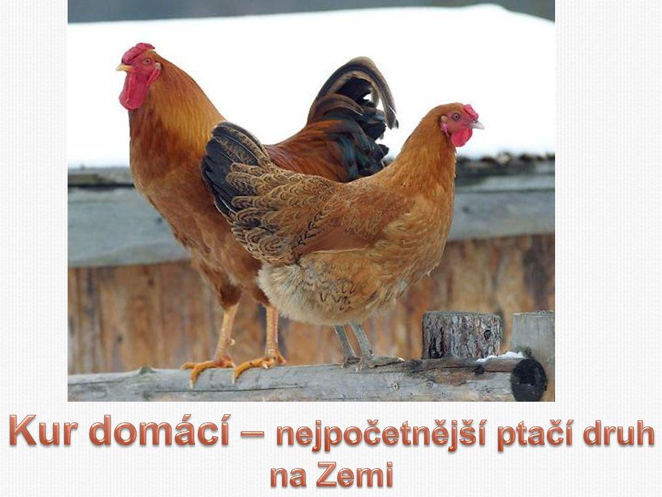 Kur domácí – nejpočetnější ptačí druh na Zemi