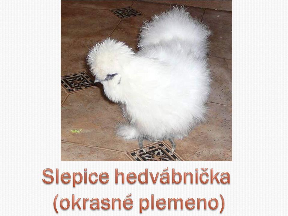 Slepice hedvábnička (okrasné plemeno)