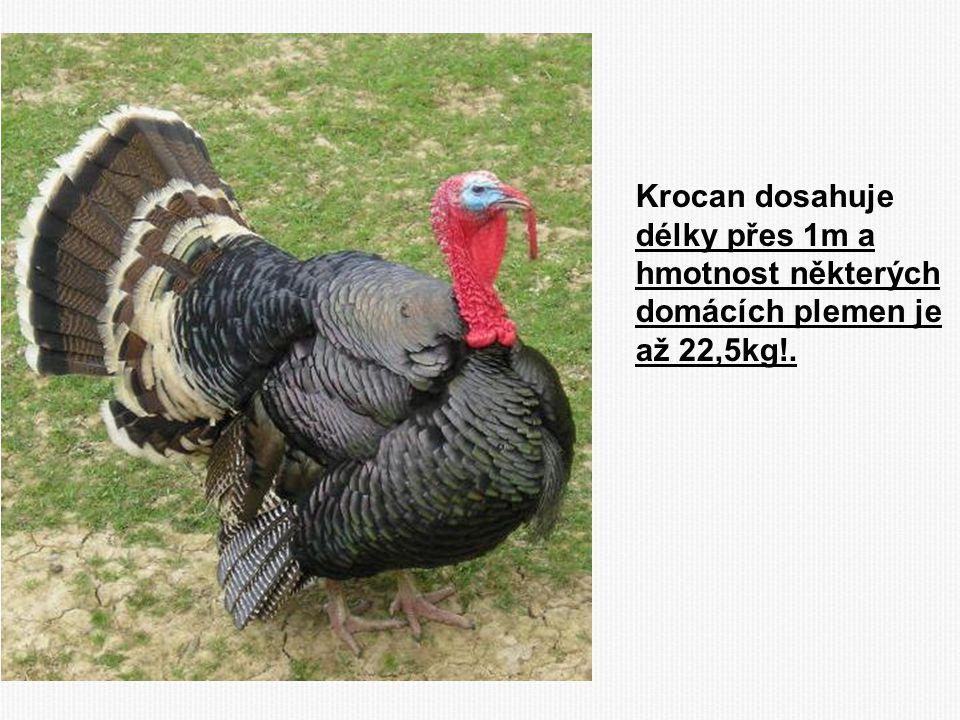 Krocan dosahuje délky přes 1m a hmotnost některých domácích plemen je až 22,5kg!.