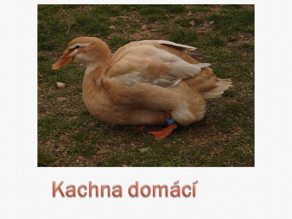 Kachna domácí