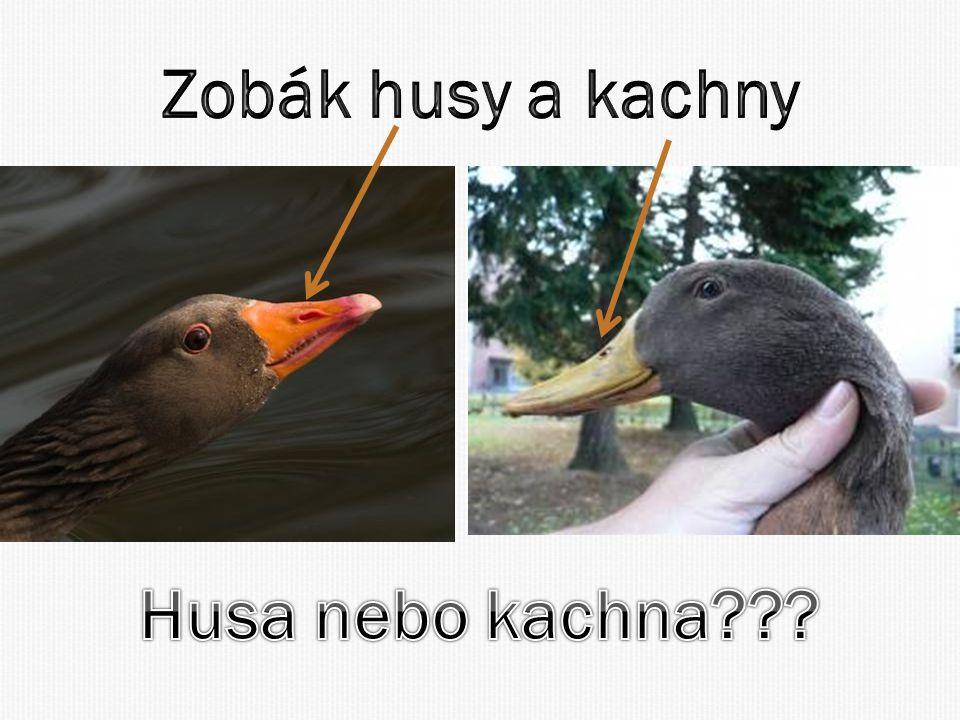 Zobák husy a kachny Husa nebo kachna