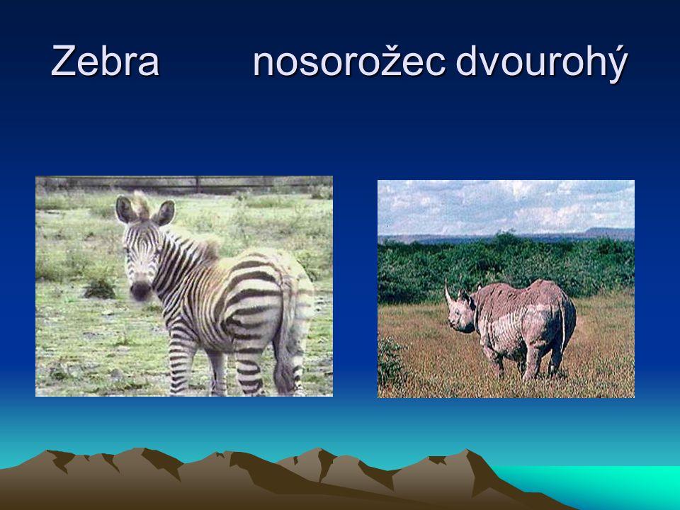 Zebra nosorožec dvourohý
