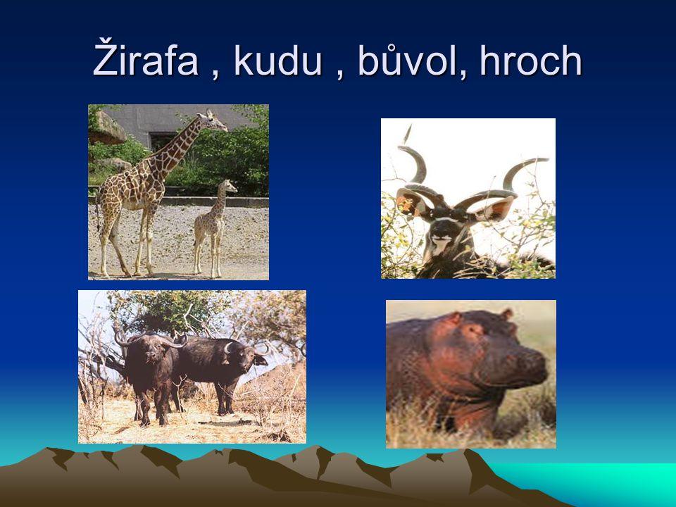 Žirafa , kudu , bůvol, hroch