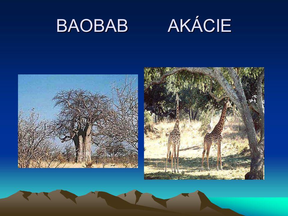 BAOBAB AKÁCIE