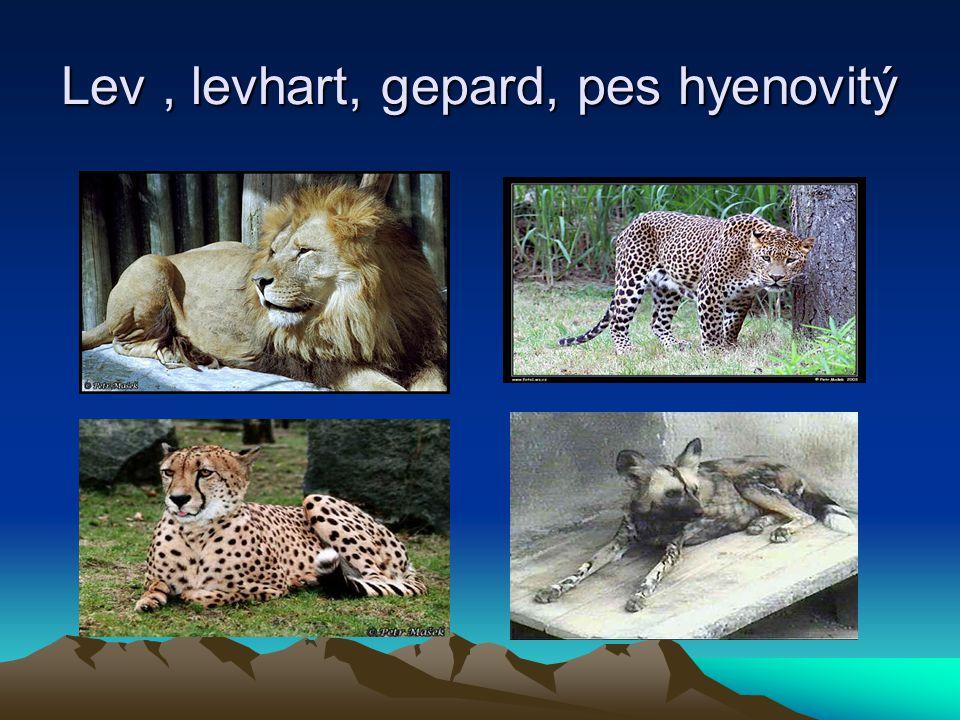 Lev , levhart, gepard, pes hyenovitý