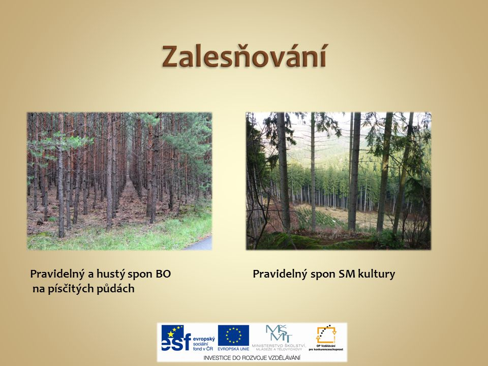 Zalesňování Pravidelný a hustý spon BO na písčitých půdách