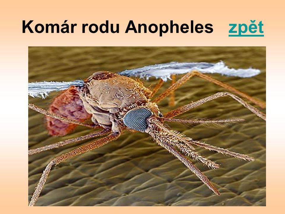 Komár rodu Anopheles zpět