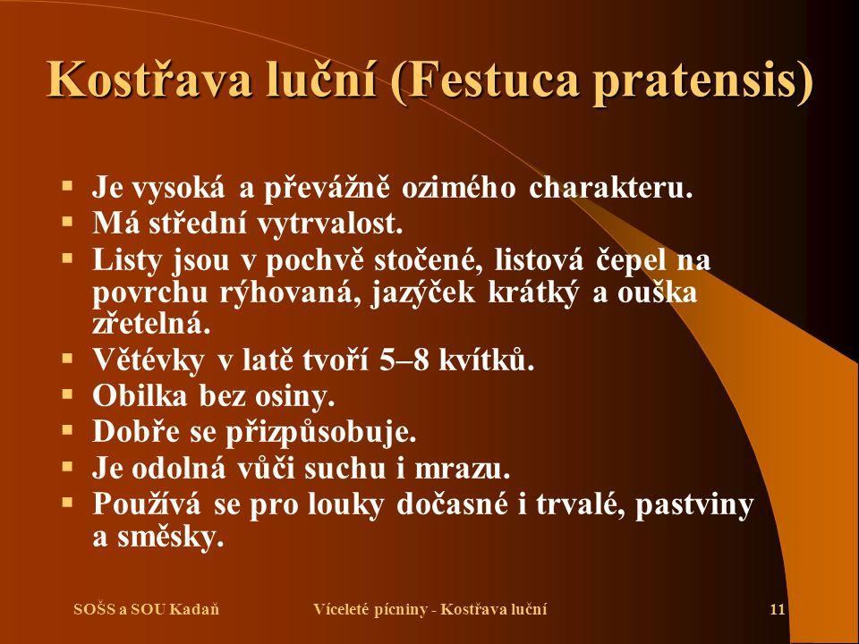 Kostřava luční (Festuca pratensis)