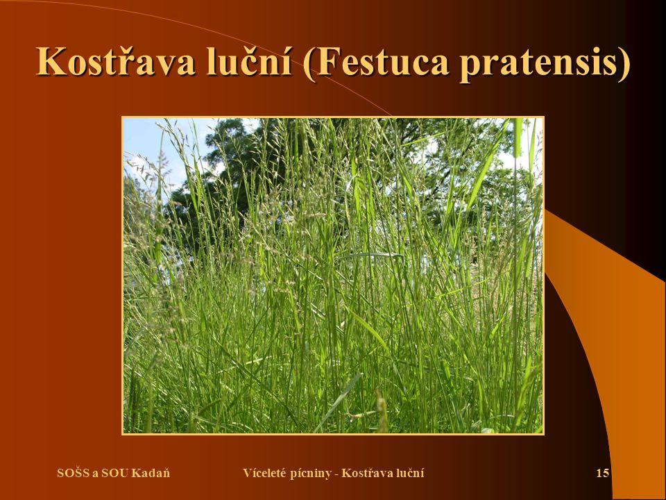 Kostřava luční (Festuca pratensis) Víceleté pícniny - Kostřava luční