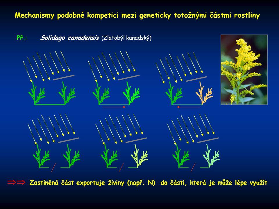 Mechanismy podobné kompetici mezi geneticky totožnými částmi rostliny
