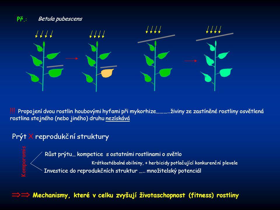 Př.: Betula pubescens.