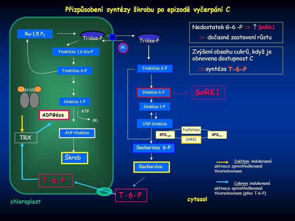 Přizpůsobení syntézy škrobu po epizodě vyčerpání C