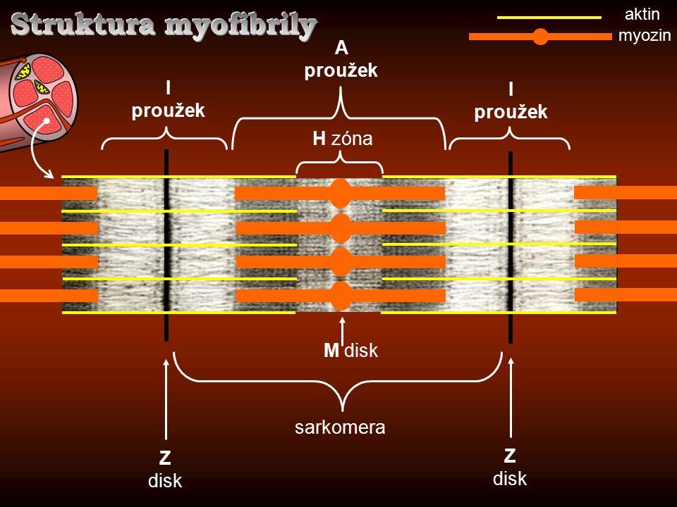 Struktura myofibrily A proužek I proužek I proužek H zóna M disk