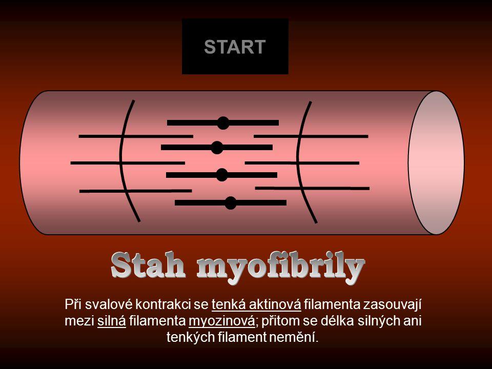 START Stah myofibrily.