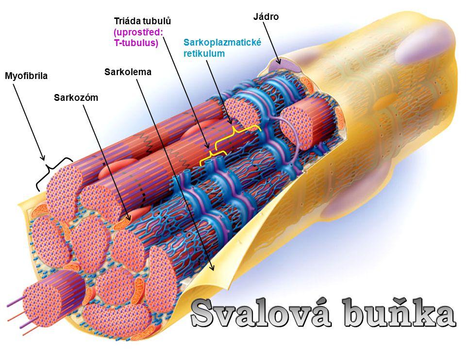 Svalová buňka Jádro Triáda tubulů (uprostřed: T-tubulus)
