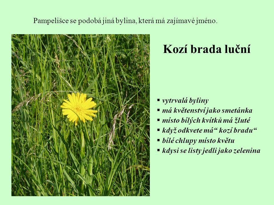 Pampelišce se podobá jiná bylina, která má zajímavé jméno.