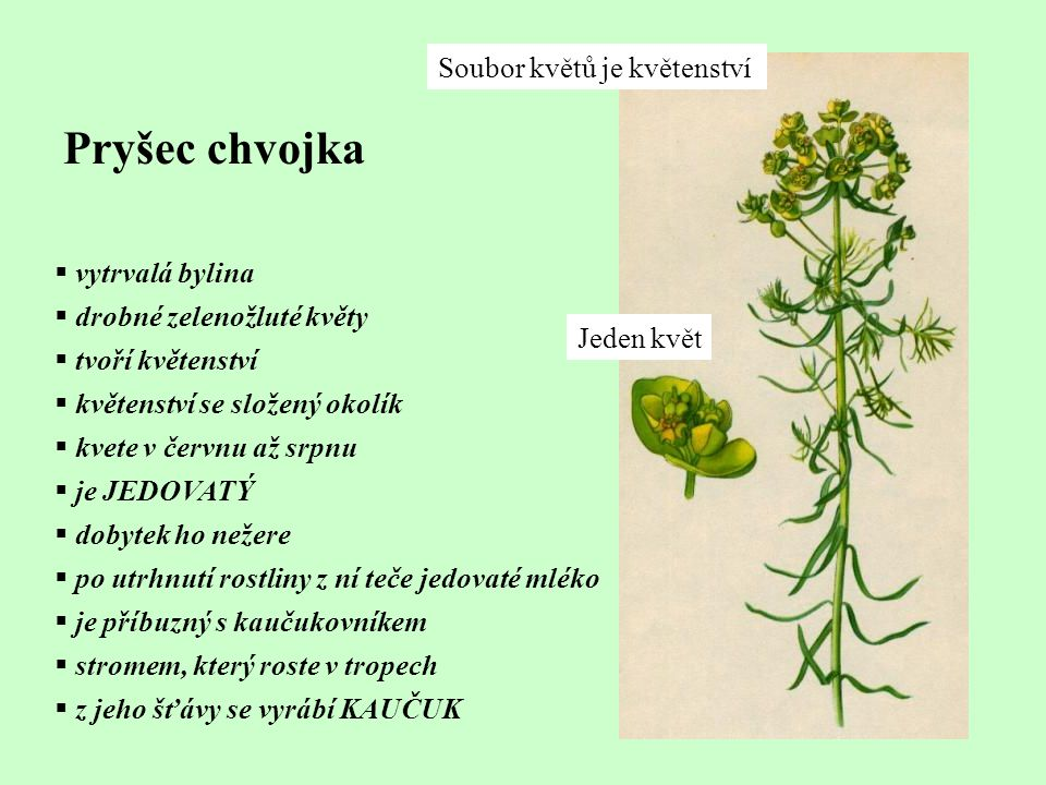 Pryšec chvojka Soubor květů je květenství vytrvalá bylina